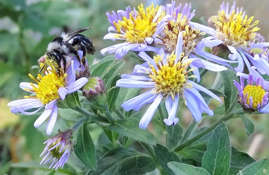 2018-09-25 Lüchow, Garten, Aschgraue Erd- bzw. Sandbiene (Andrena cineraria) an einer Asiatischen Wildaster (Aster ageratoides) 'Asran'